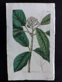 William Curtis 1819 Antique Botanical Print. Smooth Chinese Hawthorn 2105